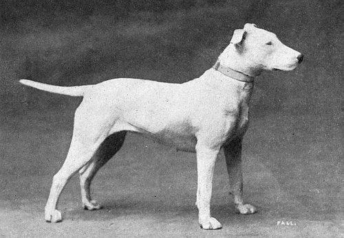 640px-Bull_Terrier_from_1915.jpg