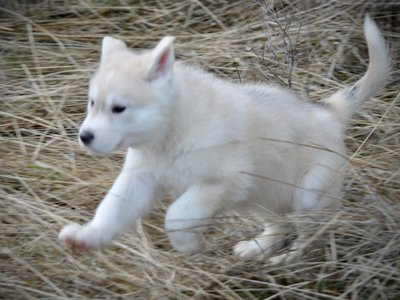 American Alsatian puppy leaping through the forest.