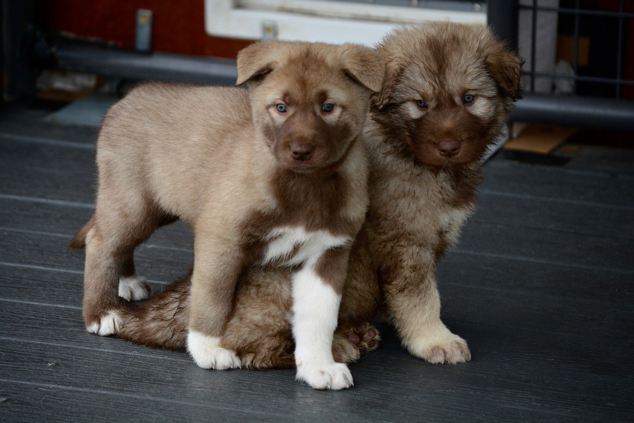 Short and long-coated American Alsatian puppies