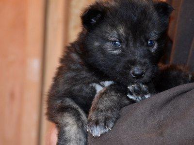 7 Week Old Black Puppy