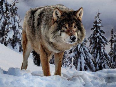 DWP Website - Snow Dire Wolf banner 1.jpg