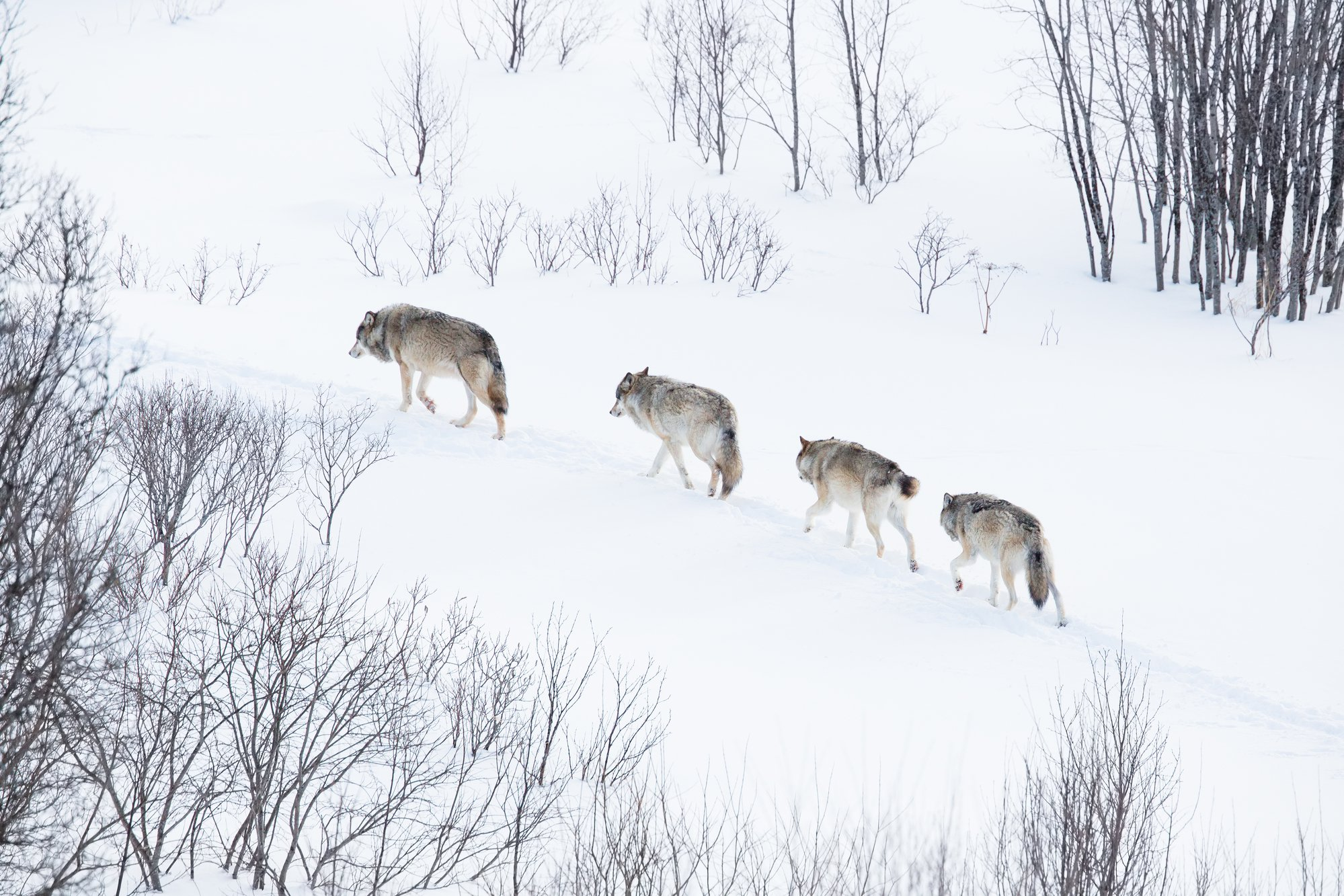 Wolves Walking in the Snow
